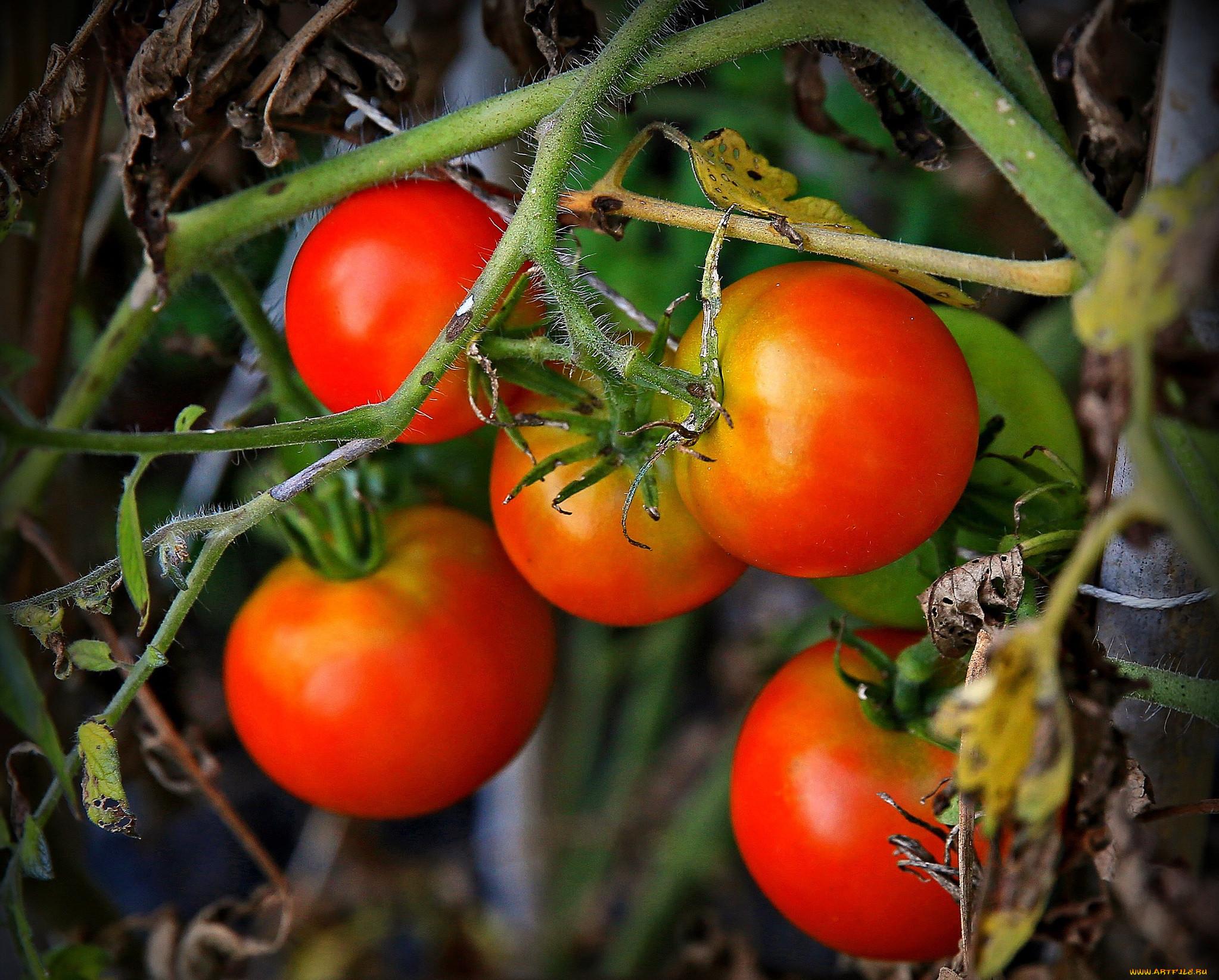 фото кустов помидор этом его